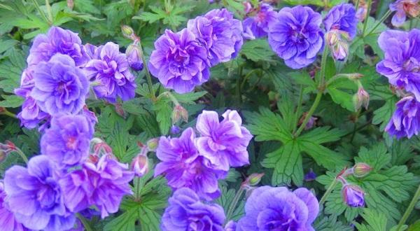 герань садовая многолетняя сорта фото