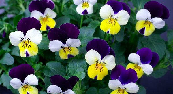анютины глазки фото цветов