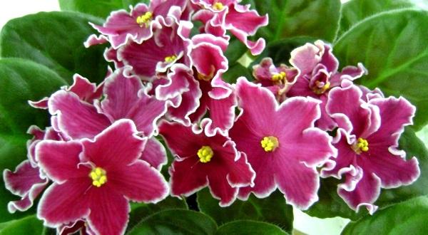 фиалка цветок