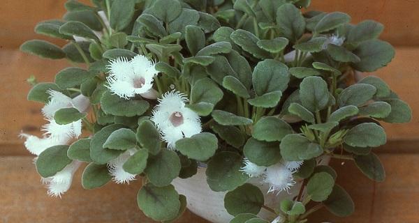 цветок эписция фото