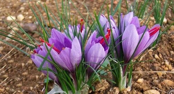 крокус цветок уход в домашних условиях