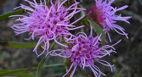 лиатрис фото цветов