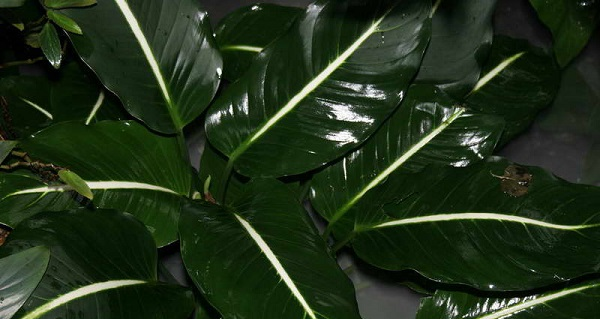 диффенбахия почему желтеют листья