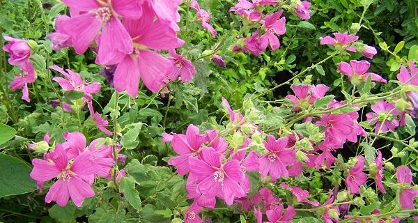 садовая роза лаватера