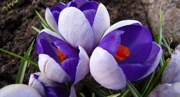 крокус цветок фото домашний цветок