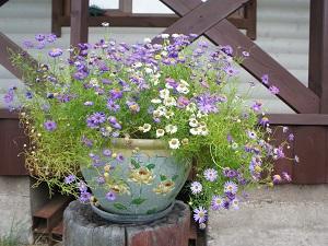 брахикома выращивание из семян в домашних условиях