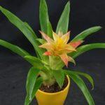 Травянистое вечнозелёное растение Гузмания: уход в домашних условиях, фото и общие правила выращивания эпифита
