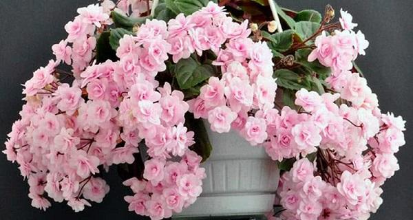 сенполия цветок