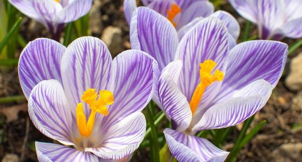 цветок крокус как ухаживать