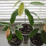 Как вырастить личи в домашних условиях из косточки: полезные советы и пошаговые инструкции, уход за экзотическим растением