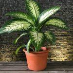 Комнатное растение Диффенбахия: уход в домашних условиях, полив, пересадка, обрезка и температура содержания лиственной культуры