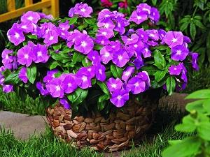 барвинок фото цветов