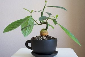 правила выращивания авокадо из косточки