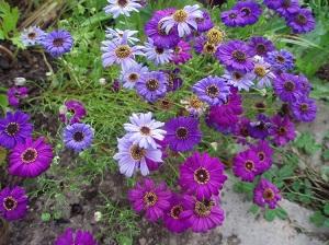 цветы брахикома посадка и уход фото