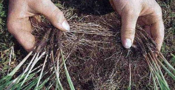 армерия псевдоармерия травянистые растения для открытого грунта