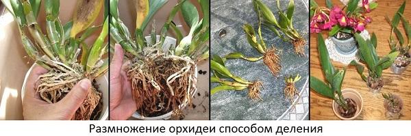 орхидея деление куста