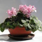 Узамбарская фиалка: уход в домашних условиях, полезные советы новичкам и опытным цветоводам по выращиванию сенполии