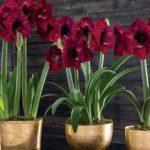 Роскошное комнатное растение с яркими бутонами на длинной цветоножке Гиппеаструм: уход в домашних условиях, защита от вредителей и болезней
