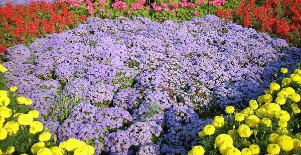 агератум фото цветов