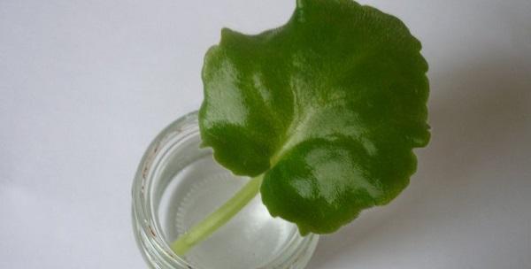 сенполия размножение листом
