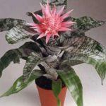 Экзотическое растение с оригинальными листьями и эффектными бутонами Эхмея: уход в домашних условиях, полезные советы опытных цветоводов