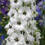 Живокость или Дельфиниум многолетний: посадка и уход, фото высокодекоративного растения с ярким разнообразным цветением