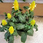 Комнатный кустарник Пахистахис: уход в домашних условиях, выращивание растения с оригинальными колосовидными соцветиями