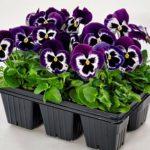 Виола или Анютины глазки: выращивание из семян, когда сажать на рассаду, как ухаживать за цветком с нежными лепестками и интересными вариациями оттенков