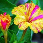 «Ночная красавица» Мирабилис: посадка и уход в открытом грунте, фото и выращивание декоративной культуры с трубчатыми цветками