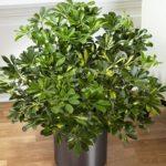 Зонтичный цветок шефлера: уход в домашних условиях, формирование кроны, способы размножения растения с необычной формой листьев