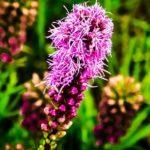 Травянистое красивоцветущее растение Лиатрис: посадка и уход в открытом грунте, особенности выращивания разноцветных декоративных «свечек»