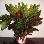Декоративная культура Кротон: уход в домашних условиях за растением с красочными листьями разнообразных оттенков и форм