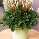 Вечнозеленая культура Пеперомия: уход в домашних условиях за неприхотливым растением с многочисленным видовым разнообразием