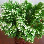 Плаунок или Селагинелла: уход в домашних условиях за оригинальным небольшим экзотическим растением