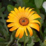 Африканский цветок Диморфотека: посадка и уход, фото и размножение красивого декоративного однолетника