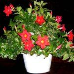 Королева комнатных лиан Дипладения: уход в домашних условиях за вьющимся растением с зелеными листьям и яркими бутонами
