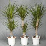 Драконово дерево Драцена: уход в домашних условиях, фото растения с прямостоячим стволом и ниспадающими листьями различной расцветки