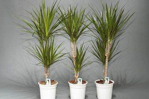 правила выращивания Драцены в горшке