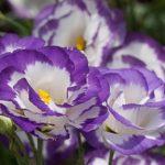 Ирландская роза или Эустома многолетняя: посадка и уход, фото, правила выращивания красивого цветками с нежнейшими и разнообразными оттенками лепестков