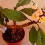 Дерево с ароматными цветами Плюмерия: уход в домашних условиях, создание и поддержание оптимального микроклимата для растения