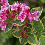 Растение с многочисленными нежными бутонами Вейгела: посадка и уход в открытом грунте, фото роскошных кустов с нежными цветами, использование в ландшафтном дизайне