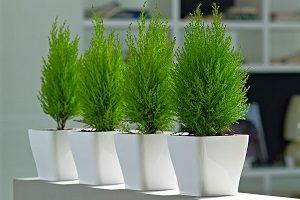 как выращивать комнатный Кипарис