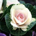Цветочная декоративная капуста: посадка и уход в открытом грунте, виды и сорта листовой брассики, особенности выращивания