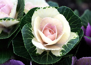 как выращивать декоративную капусту
