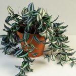 «Камнеломка» или Традесканция: уход в домашних условиях за популярным растением с декоративной листвой