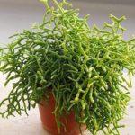 Лесной ампельный кактус Рипсалис: фото, уход в домашних условиях, размножение экзотического суккулента с длинными побегами