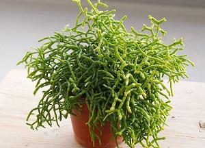как выращивать Рипсалис в гошке