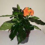Домашний цветок Кроссандра: уход за лиственным полукустарником, полив, пересадка и размножение культуры с оригинальными воронковидными цветами