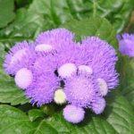 Цветущее растение Агератум: выращивание из семян, когда сажать на рассаду и в открытый грунт, как ухаживать за миниатюрным кустарником