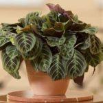 Декоративная культура Маранта: уход в домашних условиях за тропическим растением с крупными листьями и оригинальным узором